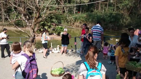 Cotia, SP: Alimentação das aves aquáticas