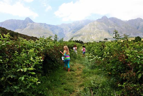 Wilderbraam Berry Estate: kids picking berries