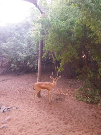 Al Maha, A Luxury Collection Desert Resort & Spa: tem esse animal por todos os lados , esse veio dar bom dia!