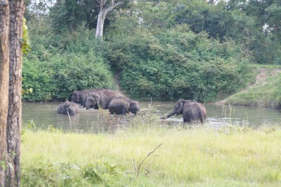 Pachyderm Palace: gaur
