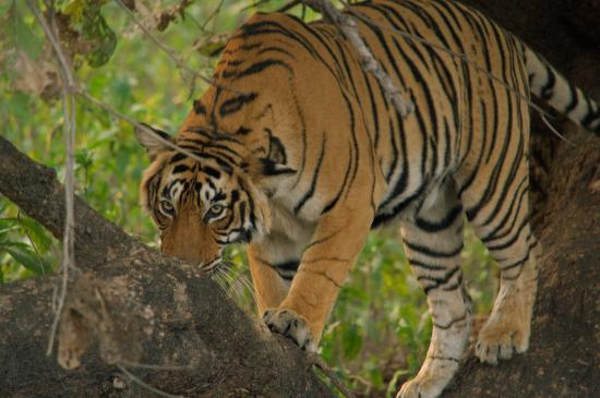 Ranthambore National Park : Tiger on the tree