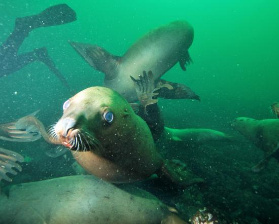 Hornby Island Diving Lodge: SeaLion