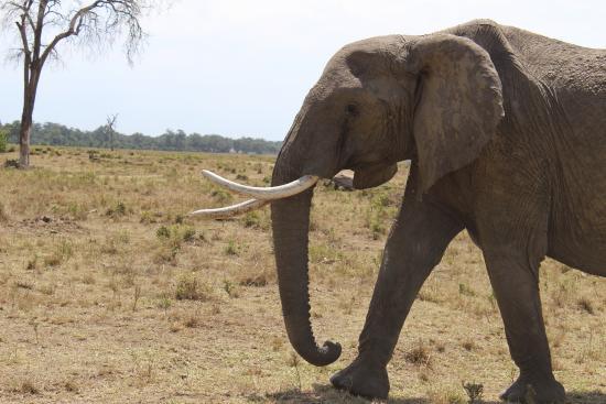 Sentinel Mara Camp: elephant