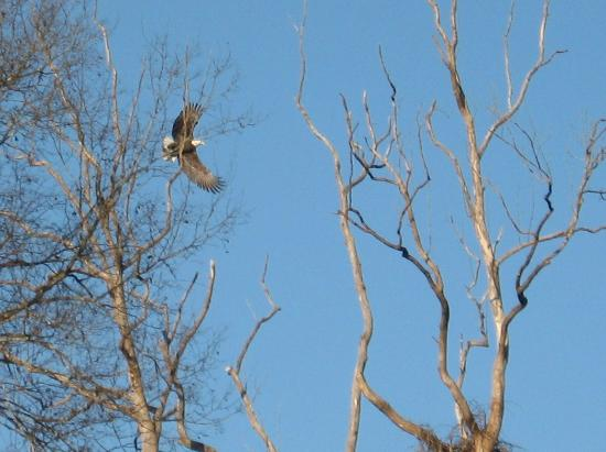 Rapidan River Kayak Company: Bald eagle on the wing.
