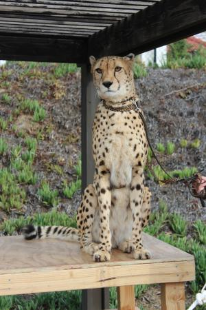 Bonsall, CA: Cheetah