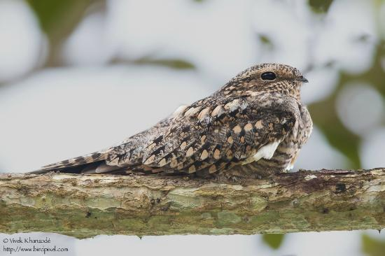 Whitehawk Birding and Conservation-Day Tours: Lesser Nighthawk