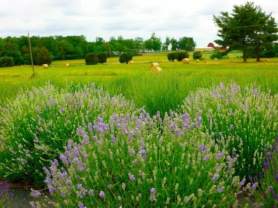 Seven Oaks Lavender Farm (Catlett) - 2019 All You Need to