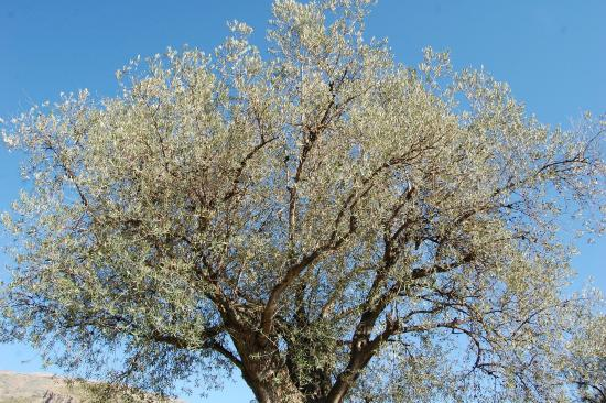 Olive Oil Tour: An old olive tree