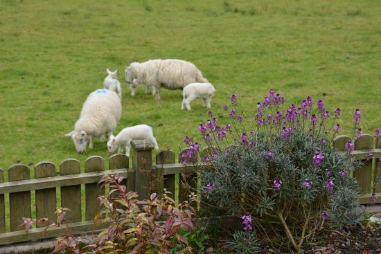 The Sithean: Lambs in the paddock in front of our room.