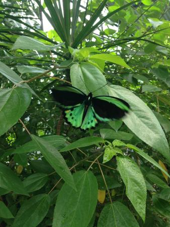 Coffs Harbour Butterfly House : Butterfly, beautiful green colour.