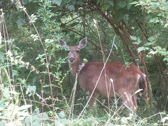 Hummingbird Hill Bed & Breakfast: A common sight on Salt Spring Island as deer love to raid the gardens for a snack