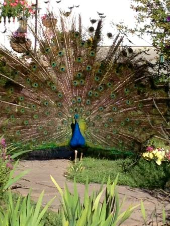 Kelsey See Canyon Vineyards : Peacock