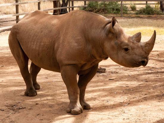 Taronga Western Plains Zoo: Black Rhino