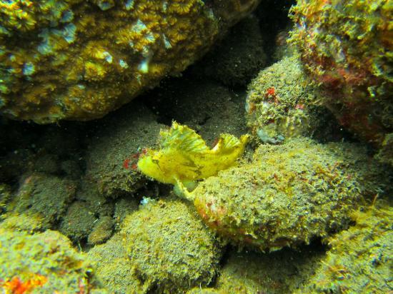 Bali Reef Divers: Leaf Scorpionfish