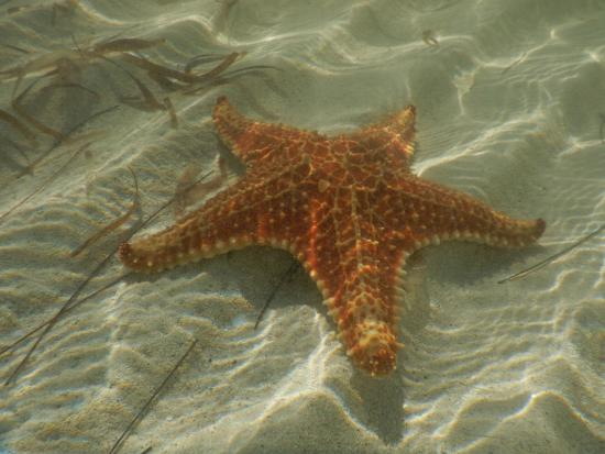 "Star Fish Point: More scientific name for these ""starfish"" are ""Sea Stars"". I think this is a Cushion Sea Star."