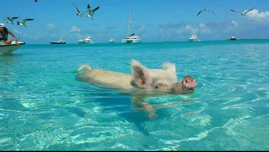 George Town, Great Exuma: Major Cay aka Pig Beach ~ Exuma, Bahamas