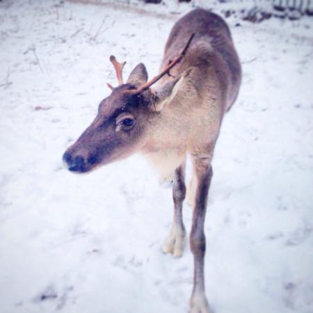 Riga Zoo: Renna