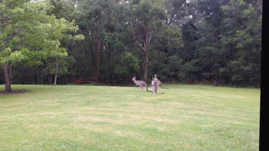 Milton Country Cottages : Eastern grey Kangaroos passing by the cottage
