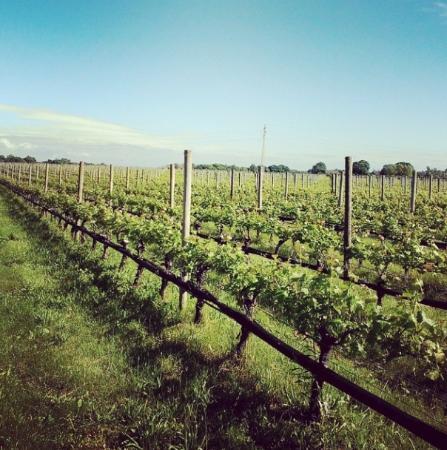 Shinn Estate Farmhouse : vineyards on the property