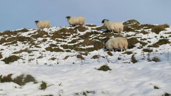 Gavinburn Cottages: Black face sheep graze all around the nearby hills.