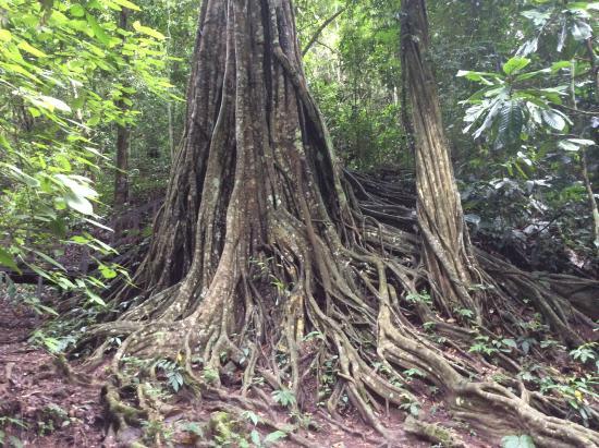 Xishuangbanna Tropical Nature reserve: big tree