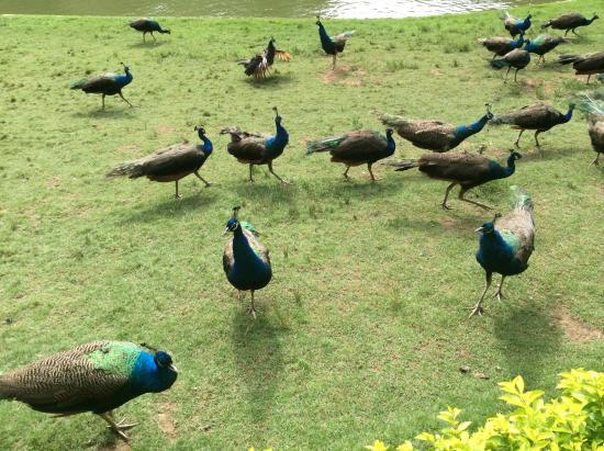 Peacock Garden, Sipsongpanna: peacock