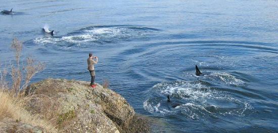 Mayne Island Resort: Killer Whales local waters