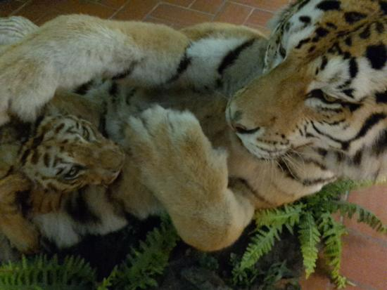 Villa Baciocchi: tigri