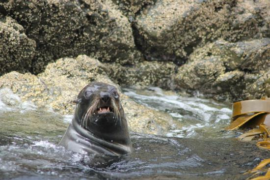 Kaikoura Marine Tours: seal just risen from diving