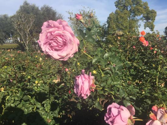 Inez Grant Parker Memorial Rose Garden: Some of the Few Blooming Roses