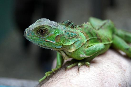 Baby iguana - Picture of Green Iguana Conservation Project ... - photo#23
