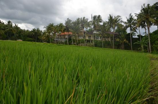 Museo de Arte Angung Rai (ARMA): Green Rice field