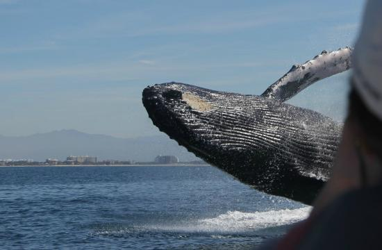 humpback whale picture of ocean friendly whale watching tours