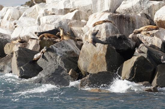 Dana Point, CA: Happy sea lions (At least, I'm pretty sure he said sea lions instead of seals)