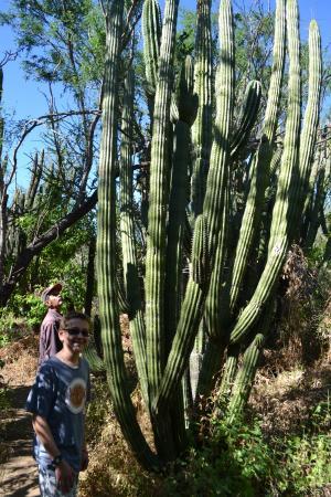 El Triunfo, المكسيك: Organ Pipe Cactus