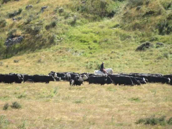 Molesworth High Country Tours: Stockman at work on Molesworth Station