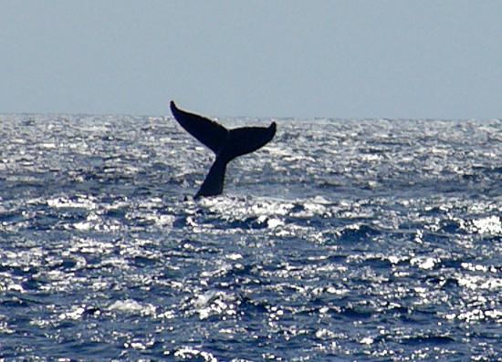 Captain Cook, HI: Whale Watch
