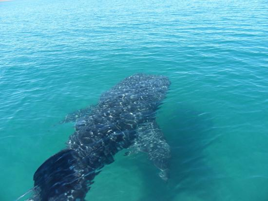 Posada Colibri : swimming with whale sharks @La Paz - a MUST DO