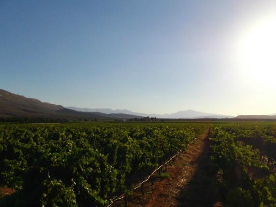 Goedereede Guest Farm: Vineyards
