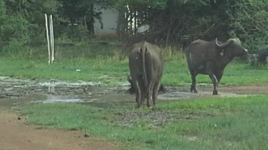 Parays Game Ranch: Buffaloes are in abundance