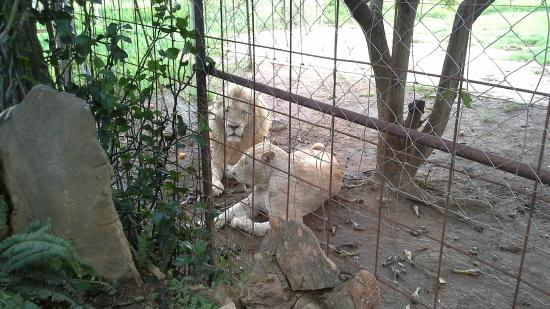 Parays Game Ranch: The white lions
