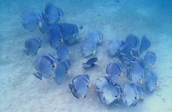 Shimoni, Κένυα: Batfish