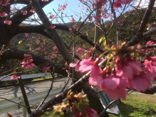 Mt. Yaedake: 八重岳の桜