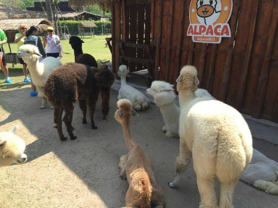 ถูกแกะรุม - Picture of AlpacaHill, Suan Phueng - TripAdvisor