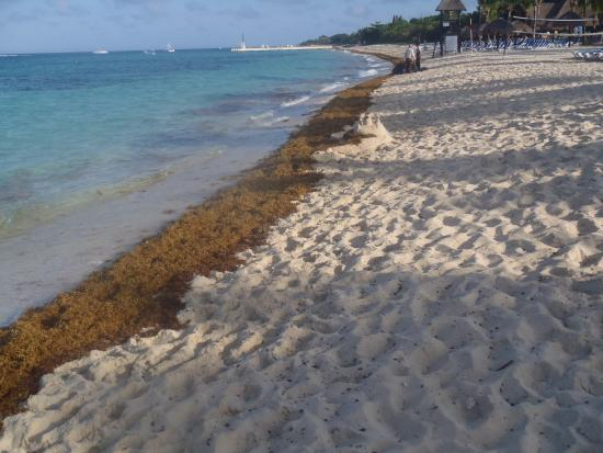 Unusual amount of seaweed was picked up daily  - Picture of Allegro