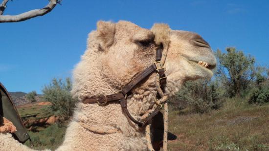 Camel Treks Australia: Trev