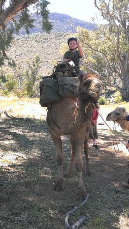 Camel Treks Australia: Gentle Giant