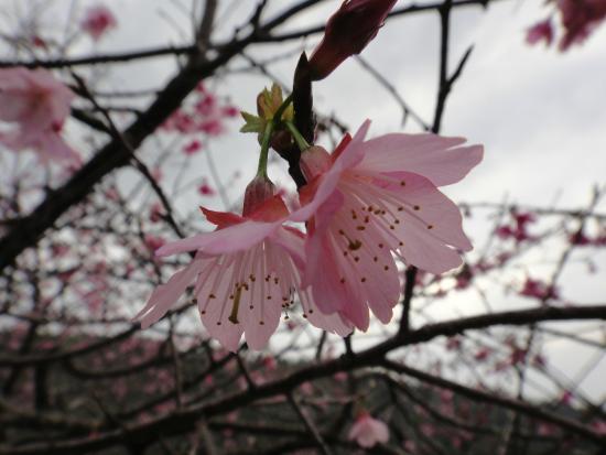 Mt. Yaedake: まだ一分咲きでした。