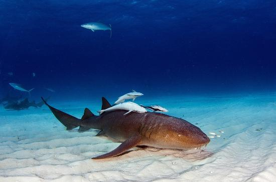 Neal Watson Bimini Scuba Center : Atlantic Nurse Shark