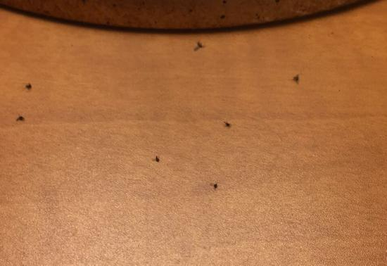 Red Lion Hotel Orlando - Kissimmee Maingate : Dead gnats on night stand.